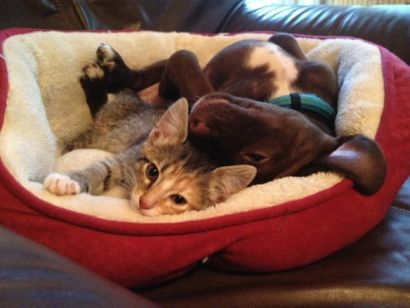 Cute Dog sharing his bed with kitty